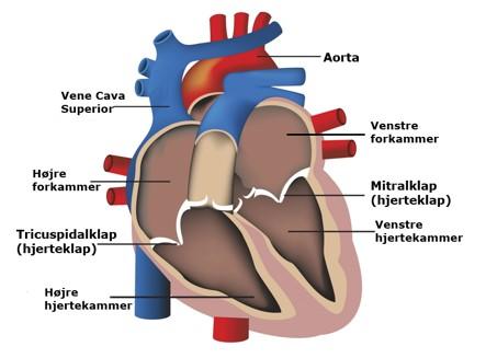 hjertets placering i kroppen
